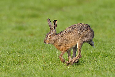 European Hare (Lepus europaeus) running, Texel, Netherlands  -  Winfried Wisniewski