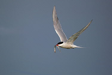 Common Tern (Sterna hirundo) flying with fish prey, Nijkerk, Netherlands  -  Winfried Wisniewski