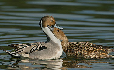 Northern Pintail (Anas acuta) male and female courting, Esquimalt Lagoon, Victoria, British Columbia, Canada  -  Kevin Schafer