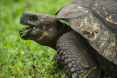 Galapagos Giant Tortoise (Chelonoidis nigra) grazing, Santa Cruz Island, Galapagos Islands, Ecuador  -  Pete Oxford
