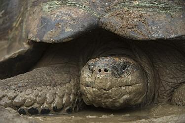 Indefatigable Island Tortoise (Chelonoidis porteri), Santa Cruz Island, Galapagos Islands, Ecuador  -  Pete Oxford