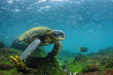 Pacific Green Sea Turtle (Chelonia mydas agassizi), Galapagos Islands, Ecuador  -  Pete Oxford