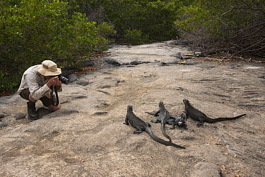 Marine Iguana (Amblyrhynchus cristatus) group photographed by tourist, Fernandina Island, Galapagos Islands, Ecuador  -  Pete Oxford