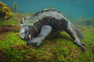 Marine Iguana (Amblyrhynchus cristatus) feeding on algae in water, Fernandina Island, Galapagos Islands, Ecuador  -  Pete Oxford