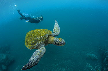 Pacific Green Sea Turtle (Chelonia mydas agassizi) and snorkeler, Galapagos Islands, Ecuador  -  Pete Oxford