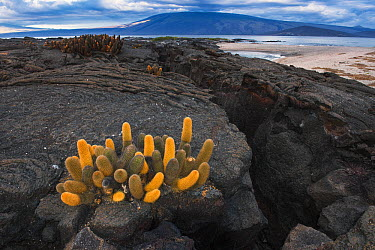 Lava Cactus (Brachycereus nesioticus,endemic pioneering species growing only on young lava flows, Fernandina Island, Galapagos Islands, Ecuador  -  Pete Oxford