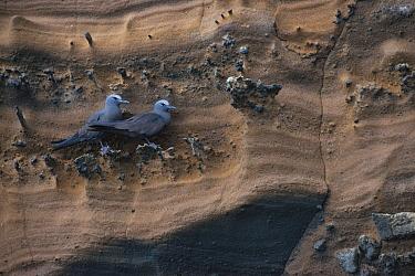 Brown Noddy (Anous stolidus) pair on cliff, Galapagos Islands, Ecuador  -  Pete Oxford