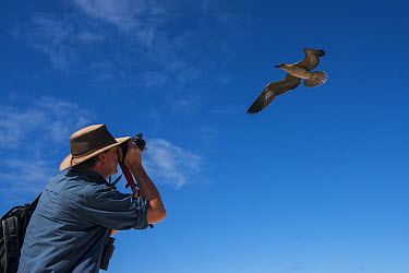 Red-footed Booby (Sula sula) flying juvenile being photographed by tourist, Genovesa Island, Galapagos Islands, Ecuador  -  Pete Oxford