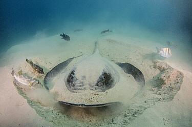 Diamond Stingray (Dasyatis brevis) digging in sand, Galapagos Islands, Ecuador  -  Pete Oxford