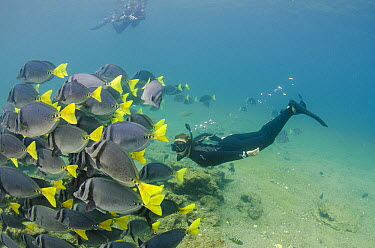 Yellow-tailed Surgeonfish (Prionurus laticlavius) school and snorkelers, Galapagos Islands, Ecuador  -  Pete Oxford