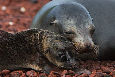 Galapagos Sea Lion (Zalophus wollebaeki) mother and pup, Rabida Island, Galapagos Islands, Ecuador  -  Pete Oxford