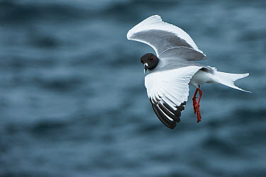 Swallow-tailed Gull (Creagrus furcatus) flying, Galapagos Islands, Ecuador  -  Pete Oxford