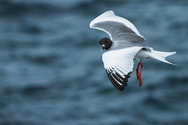 Swallow-tailed Gull (Creagrus furcatus) flying, Galapagos Islands, Ecuador  -  Pete Oxford