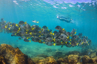 Yellow-tailed Surgeonfish (Prionurus laticlavius) school and snorkeler, Galapagos Islands, Ecuador  -  Pete Oxford
