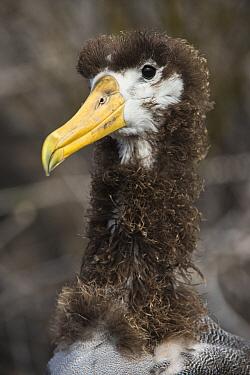 Waved Albatross (Phoebastria irrorata) molting juvenile, Espanola Island, Galapagos Islands, Ecuador  -  Pete Oxford