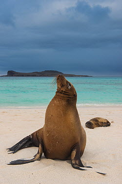 Galapagos Sea Lion (Zalophus wollebaeki) pair on beach, Gardner Bay, Hood Island, Galapagos Islands, Ecuador  -  Pete Oxford