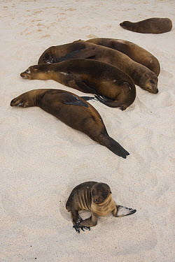 Galapagos Sea Lion (Zalophus wollebaeki) group resting on beach, Gardner Bay, Hood Island, Galapagos Islands, Ecuador  -  Pete Oxford