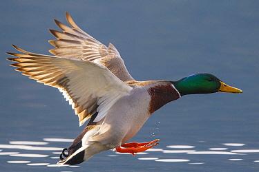 Mallard (Anas platyrhynchos) male flying, Carinthia, Austria  -  Hans Glader/ BIA