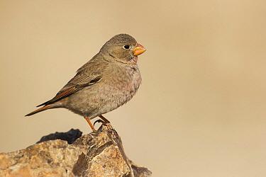Trumpeter Finch (Bucanetes githagineus) female, Negev, Israel  -  Avi Meir/ BIA