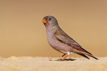 Trumpeter Finch (Bucanetes githagineus) male, Negev, Israel  -  Avi Meir/ BIA
