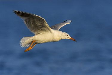Slender-billed Gull (Larus genei) flying, Eilat, Israel  -  Avi Meir/ BIA