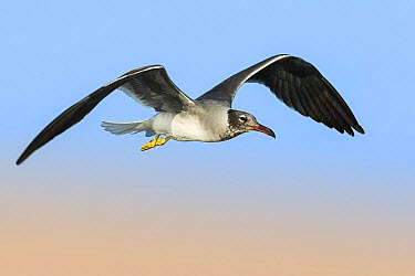 White-eyed Gull (Larus leucophthalmus) flying, Eilat, Israel  -  Avi Meir/ BIA