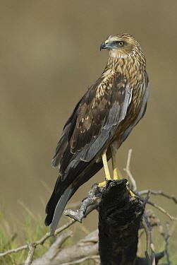Western Marsh-Harrier (Circus aeruginosus), Oman  -  Peter Waechtershaeuser/ BIA