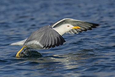 Caspian Gull (Larus cachinnans) taking flight, Eilat, Israel  -  Avi Meir/ BIA