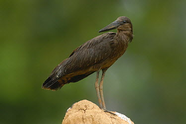 Hamerkop (Scopus umbretta), Uganda  -  Peter Waechtershaeuser/ BIA
