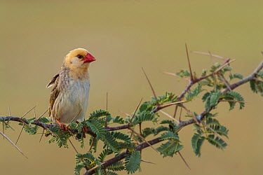 Red-billed Quelea (Quelea quelea), Northern Cape, South Africa  -  Heini Wehrle/ BIA