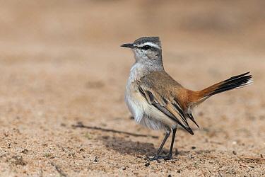 Kalahari Scrub-Robin (Cercotrichas paena), Northern Cape, South Africa  -  Heini Wehrle/ BIA