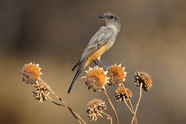 Say's Phoebe (Sayornis saya), New Mexico  -  Peter Waechtershaeuser/ BIA