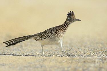 Greater Roadrunner (Geococcyx californianus) running, Texas  -  Peter Waechtershaeuser/ BIA
