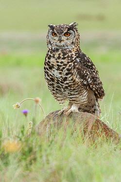 Cape Eagle-Owl (Bubo capensis), Mpumalanga, South Africa  -  Heini Wehrle/ BIA