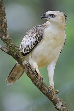 Changeable Hawk-Eagle (Spizaetus cirrhatus), Sri Lanka  -  Peter Waechtershaeuser/ BIA