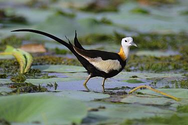 Pheasant-tailed Jacana (Hydrophasianus chirurgus), Sri Lanka  -  Peter Waechtershaeuser/ BIA