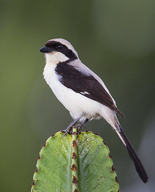 Grey-backed Fiscal (Lanius excubitoroides), Uganda  -  Peter Kes/ BIA