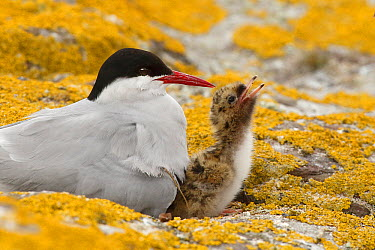 Arctic Tern (Sterna paradisaea) with begging chick, Farne Islands, England, United Kingdom  -  Bruno de Faveri/ BIA