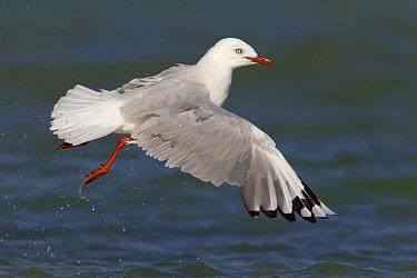 Silver Gull (Larus novaehollandiae) flying, Victoria, Australia  -  Rob Drummond/ BIA