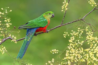Australian King Parrot (Alisterus scapularis) sub-adult male, Victoria, Australia  -  Greg Oakley/ BIA