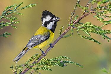 Crested Shriketit (Falcunculus frontatus), Victoria, Australia  -  Greg Oakley/ BIA