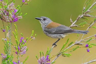 Grey Shrike-thrush (Colluricincla harmonica), Victoria, Australia  -  Greg Oakley/ BIA