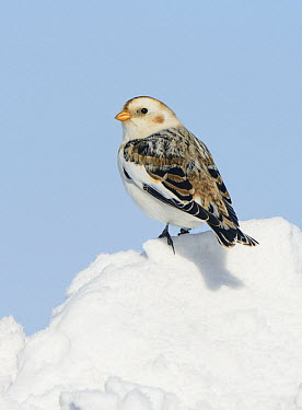 Snow Bunting (Plectrophenax nivalis), Ontario, Canada  -  Alan Murphy/ BIA