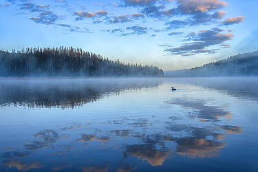 Common Loon (Gavia immer) on lake, British Columbia, Canada  -  Alan Murphy/ BIA