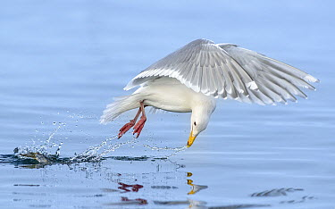 Glaucous Gull (Larus hyperboreus) striking at a fish while in flight, British Columbia, Canada  -  Alan Murphy/ BIA