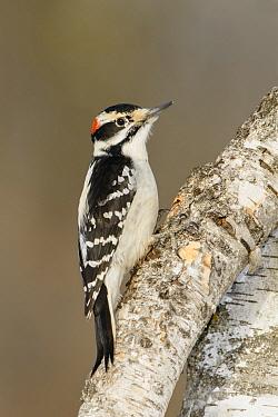 Hairy Woodpecker (Picoides villosus) male, British Columbia, Canada  -  Alan Murphy/ BIA