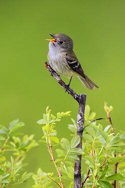 Least Flycatcher (Empidonax minimus) calling, British Columbia, Canada  -  Alan Murphy/ BIA