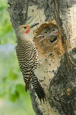 Northern Flicker (Colaptes auratus) male at nest cavity with chicks, British Columbia, Canada  -  Alan Murphy/ BIA