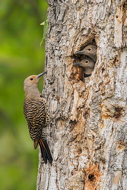 Northern Flicker (Colaptes auratus) female at nest cavity with chicks, British Columbia, Canada  -  Alan Murphy/ BIA