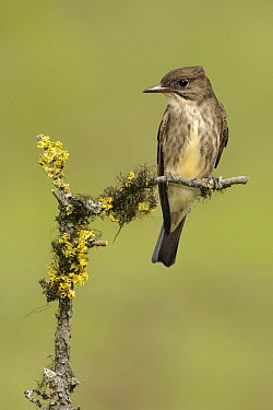 Olive-sided Flycatcher (Contopus cooperi), British Columbia, Canada  -  Alan Murphy/ BIA